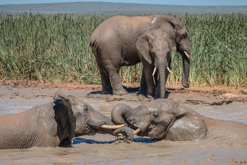 Full length of elephant drinking water