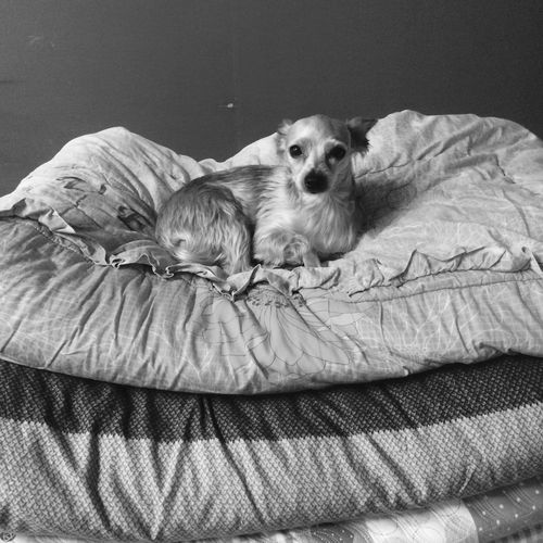 King Of Dogs Doggie Petlover YorkieBestShots Vintage Blackandwhite Petphotography Dogphotography Dog On A Holiday Duvet Comfy And Cozy In Bed