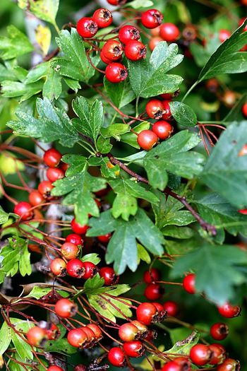 Autumn Hawthorn Food Leaf Plant Part Green Color Branch Day Red No People Nature Tree Beauty In Nature Close-up Plant