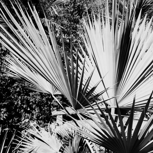 Open Edit Brahea Super Silver Palm Trees Leaves Blackandwhite Shades Of Grey