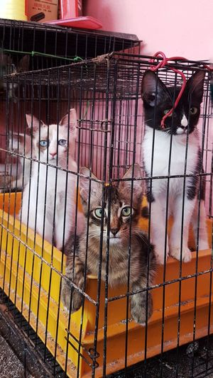 Caged Kittens Cats Crowded Cute Mammals Animal Looking At Camera Prison Confined Space Pets Prisoner Trapped Cage Animals In Captivity