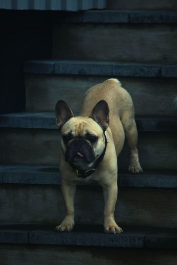 Portrait of dog relaxing on staircase