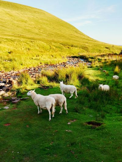 Pen Y Fan Wales UK National Trust Outstanding Nature Sheep🐑 Mountain Day Out Breaconbeacons Green Green Grass 🌱 River Sunlight