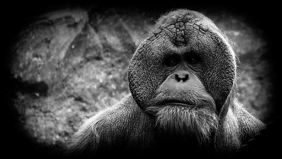 Personality Animal Hair Animal Head  Animal Nose Animal Themes Anthropoid Ape Bw Bw_collection Character Close-up Focus On Foreground Male Malemodel  One Animal Orangutan Personality  Snout Zoo Zoology Monochrome Photography