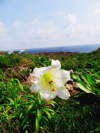 Flower Plant Beauty In Nature Nature Flower Head No People Water Day Sea Sky Close-up Outdoors Freshness Lily Flower Japan Okinawa Haterumajima ASIA Blue Sky White Flower