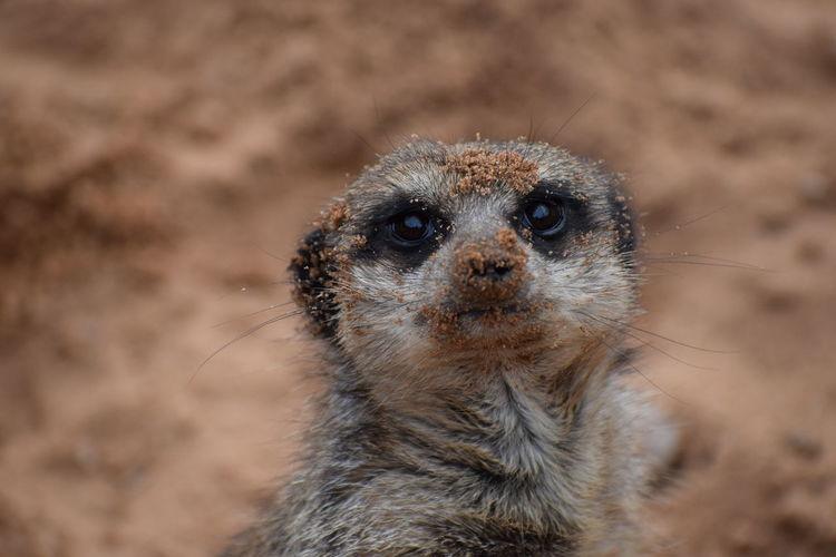 Close-up portrait of meerkat