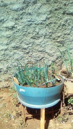 cebolinhas Imagem Cebolinhas Cultivo Vazo Water Sand High Angle View Close-up Plant Green Color