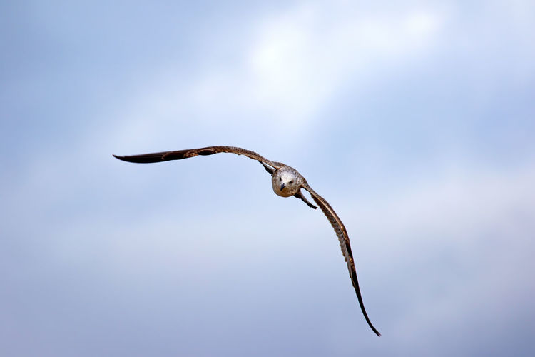 Close-up of seagull flying with spread wings