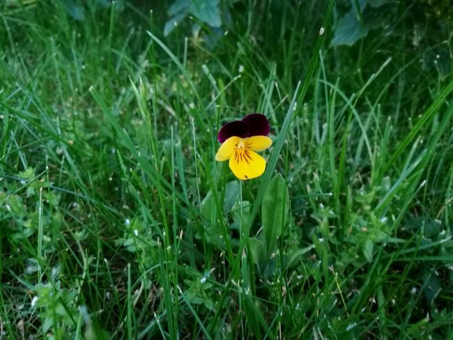 Standalone Viola