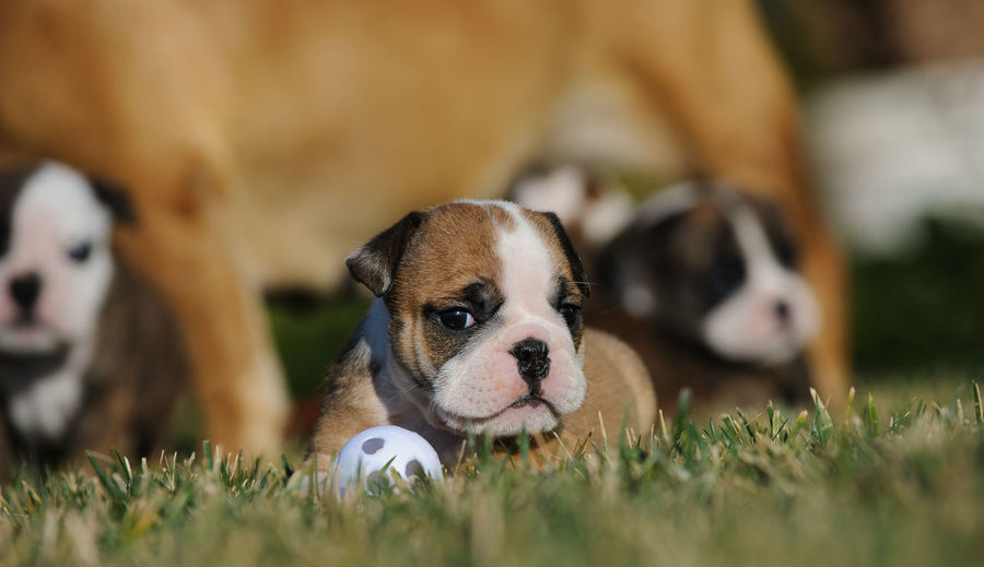 English Bulldog puppy in grass with mother and two other puppies in background Puppy No People Domestic Animals Dog Animal Themes Canine Young Animal Pets Animal Family Selective Focus Small English Bulldog Mother Litter Bulldog Toy