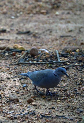 Dove Bird Photography Birds Birds_collection Birds🐦⛅ Dove Dove Love Forest Peace