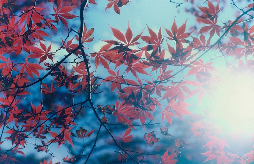 I took these pictures with my old Film Camera this time two years ago and finally developed recently. Nature Autumn Leaves Blue Sky Slow Photography I Shoot Film Film's Not Dead YET Analogue Photography 紅葉 アナログ上等 秋だったね CONTAX 139Q Kodak Ektar 100