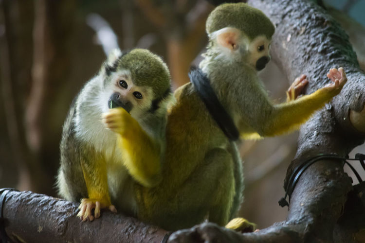 Squirrel Monkey Pair Looking At Camera Eating Climbing Tree Tail Animal Primate Animals In Captivity Nature Mammal No People Horizontal Colour Image Branch Showcase April Zoo Captivity Creature Furry Family Hand Eyes Monkey