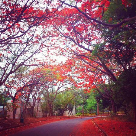 Blossom🌼🌸 Tree Nature Outdoors Growth No People Branch Day Sky Beauty In Nature Road Close-up Long Goodbye EyeEmNewHere Welcome To Black