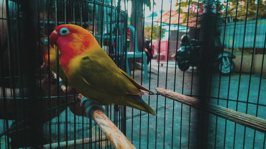 Bird Perching Parrot Multi Colored Trapped Pets Macaw Cage Animals In Captivity Birdcage