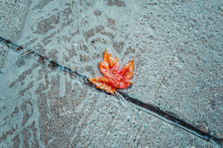 Beautiful old withered red yellow autumn maple leaf in puddle on ground under rain. fall  season