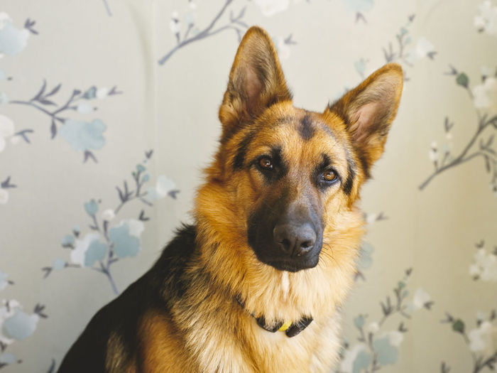 German shepherd pup watching at camera, against a wall with green floral wallpaper.