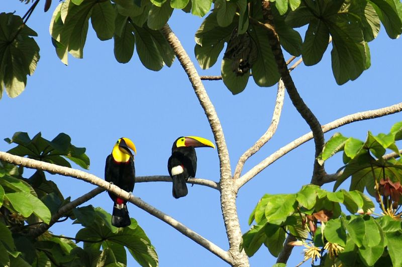 Low angle view of toucans perching on tree