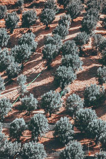Full frame shot of pine trees in forest during winter