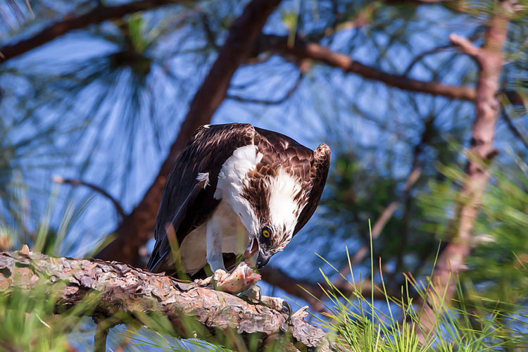 One Animal Bird Animal Plant Animal Themes Animals In The Wild Animal Wildlife Tree Vertebrate Bird Of Prey Branch Perching Nature No People Focus On Foreground Low Angle View Eagle Day Eagle - Bird Sunlight