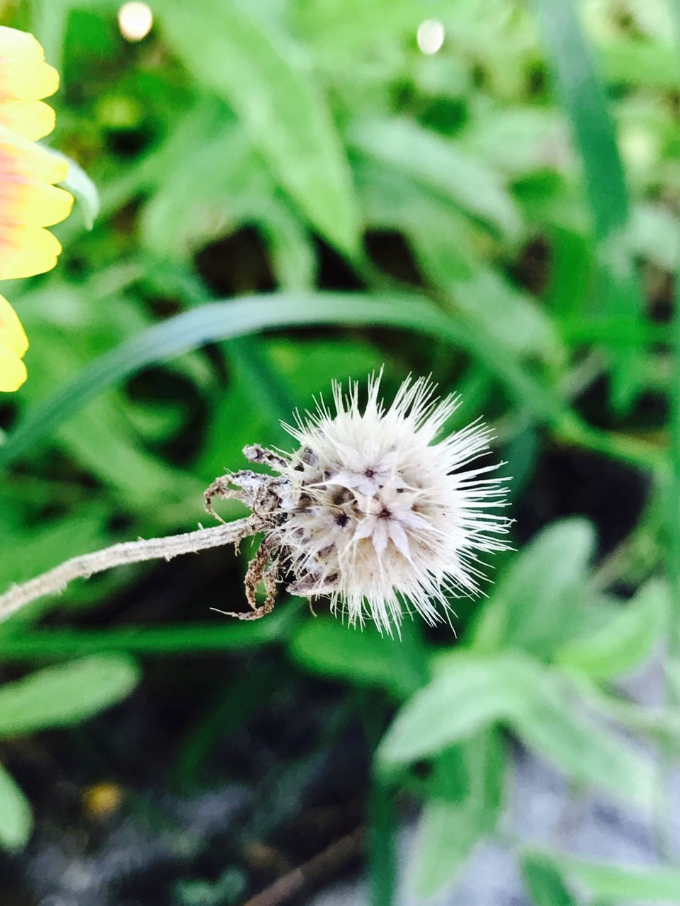 flower, nature, close-up, focus on foreground, fragility, plant, growth, no people, outdoors, day, insect, one animal, flower head, animal themes, beauty in nature, grass, freshness