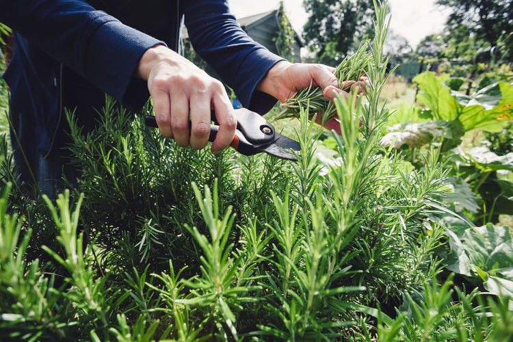 Cutting Freshness Gardening Growing Hands Herb Herbs Natural Plants Rosemary Urban Gardening Woman Allotment Close-up Food Fresh Garden Healthy Healthy Eating Lifestyles Organic Organic Food Picking Rosemary Herb Secateurs