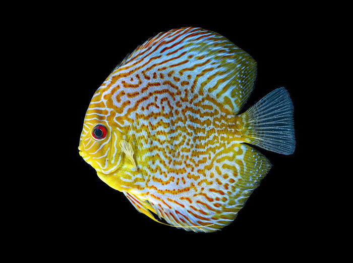 Pompadour fish in aquraium Animal Animal Themes Animal Wildlife Sea Sea Life One Animal Vertebrate Black Background Underwater Marine Animals In The Wild Close-up Water Swimming Fish No People UnderSea Yellow Nature Indoors  Saltwater Fish