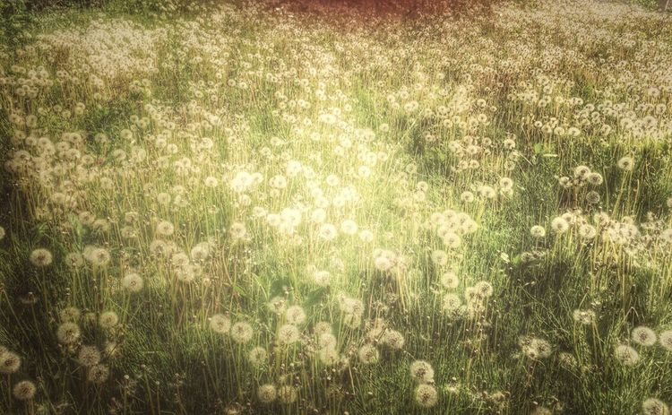 イラスト風タンポポ。去年のものですが。 Flowers Plants EyeEm Nature Lover