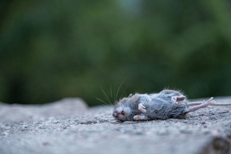 Surface level of dead rat
