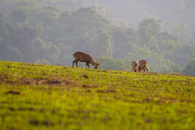 Surface level of deer grazing on field