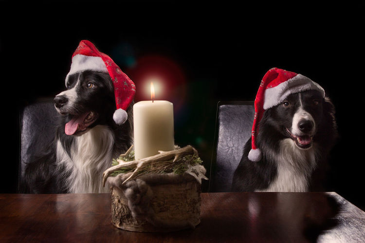 Two black and white border collies sitting at a table, with christmas hats on and in front of a candle Dog Dogs Candlelight Christmas Xmas Candle Light Xmas Time Christmastime Dog Love Dogslife Dogs Of EyeEm Candle Flame Animal Themes Pets One Animal Burning Domestic Animals Indoors  Red Table No People Illuminated Mammal Celebration Close-up Day Christmas Hat Christmas Decoration Indoor Indoor Photography Candle Border Collie Bordercollie  Fur Furry Furry Friends Looking At Camera Looking Away Stare Sitting Sitting At The Table