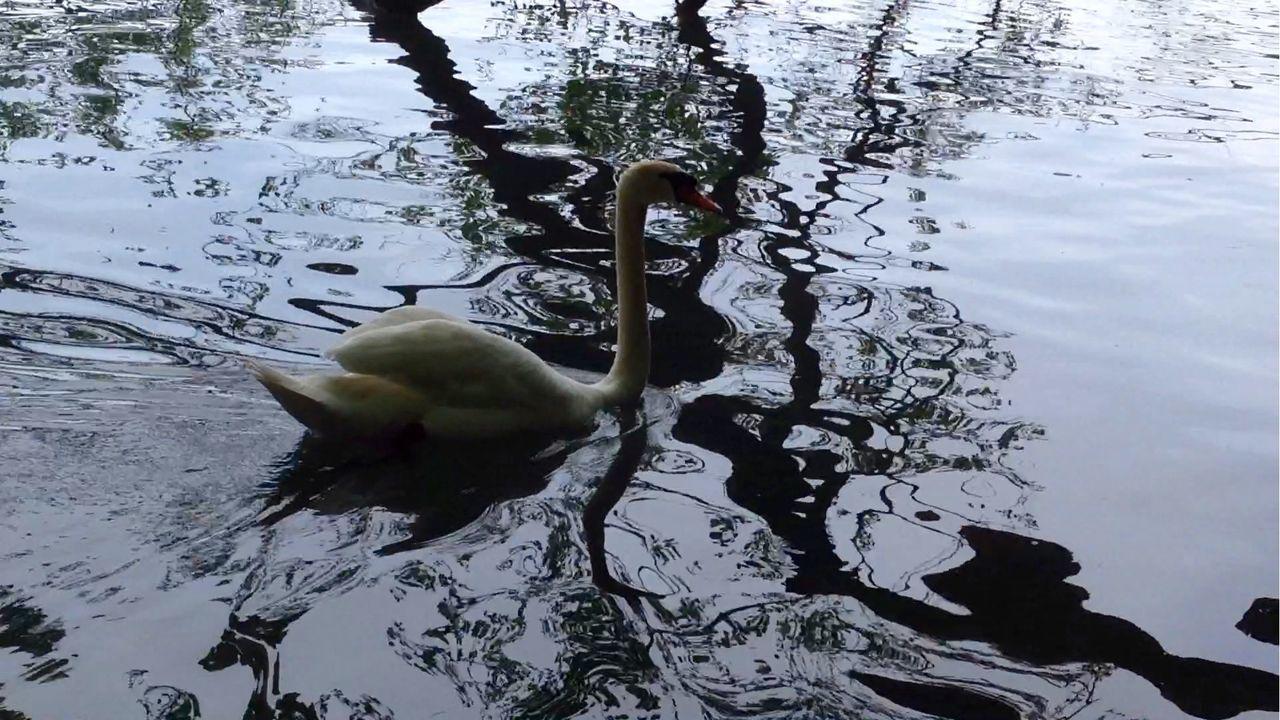 water, animal themes, animals in the wild, one animal, bird, swimming, lake, day, reflection, no people, animal wildlife, nature, outdoors, swan, water bird, beak, rippled, close-up