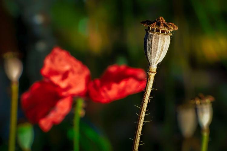 Corn Poppy