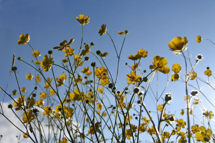 Low angle view of yellow flowering plants against sky
