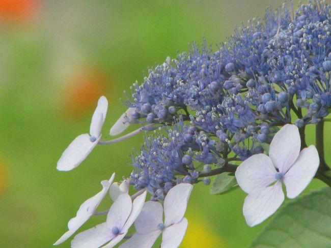 紫陽花-hydrangea- 紫陽花 Flower Nature Japan