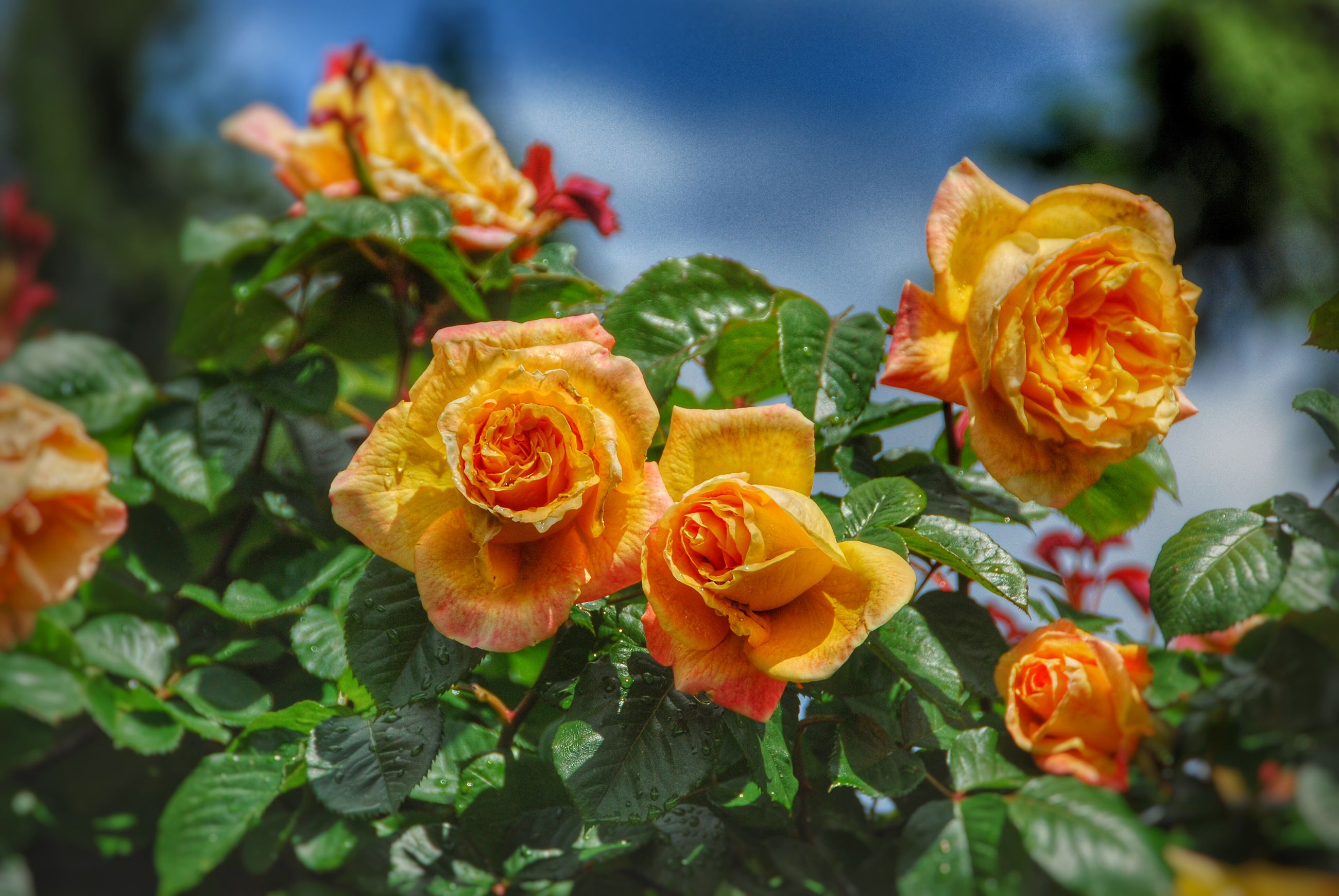 flower, petal, freshness, flower head, fragility, beauty in nature, growth, yellow, blooming, close-up, rose - flower, plant, focus on foreground, nature, orange color, in bloom, leaf, park - man made space, outdoors, day