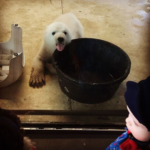Went to the TorontoZoo to see Juno the Baby Polar Bear today. She woke up just in time to give us a little attitude as we passed by her tiny house. Cute As A Button Cute Alert! Cute Animals