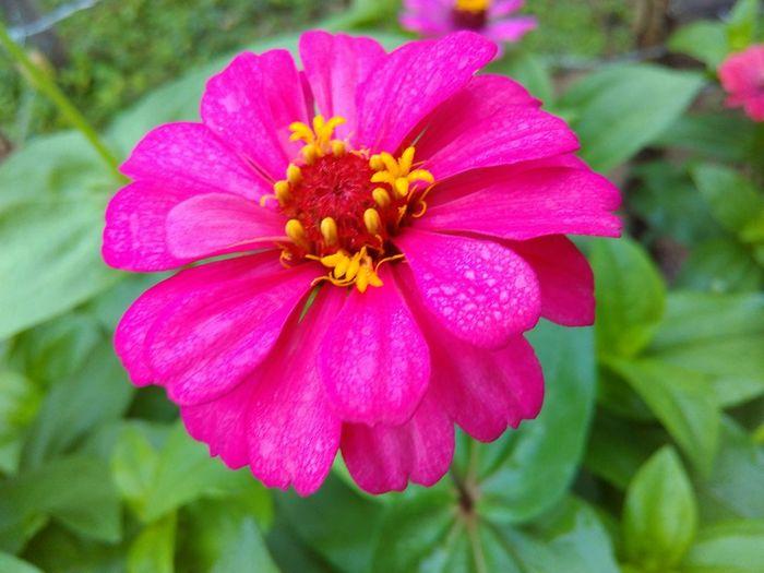 Petal Flower Flower Head Pink Color Nature