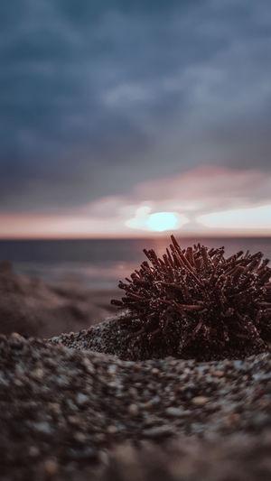 Sea urchin on sunset