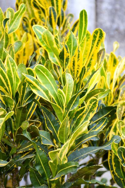 Codiaeum Variegatum Croton Garden Croton Agriculture Beauty In Nature Close-up Day Field Foliage Food Freshness Green Color Growth Houseplant Leaf Leaves Nature No People Outdoors Plant Variegated Laurel