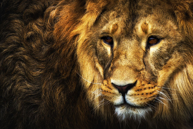 King Animals In The Wild EyeEm Best Shots EyeEm Nature Lover EyeEm Selects EyeEm Gallery EyeEmBestPics Lion Portraits Animal Animal Head  Animal Themes Animal Wildlife Animals Carnivora Cat Cats Eye4photography  First Eyeem Photo Fur Lion - Feline Mammal Portrait Safari Whisker The Portraitist - 2018 EyeEm Awards