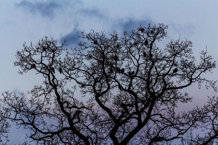 Birds in tree Bare Tree Beauty In Nature Blue Branch Cloud Cloud - Sky Cloudy Day Growth High Section Idyllic Low Angle View Nature No People Outdoors Scenics Sky Tranquil Scene Tranquility Tree