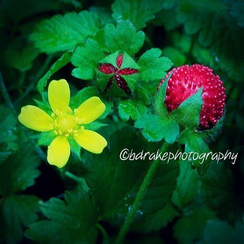 Macro Mockstrawberry Duchesneaindica Samsunggalaxys4zoom