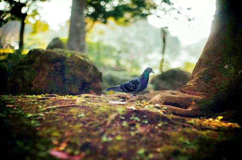 鳩 pigeon Hello World Nature Carl Zeiss Jena Sonnar