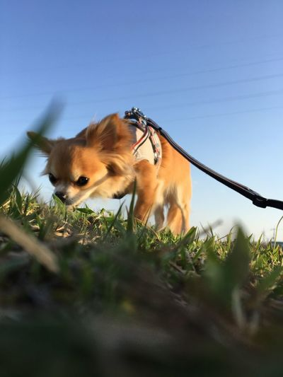 Animal Themes Mammal Domestic Animals One Animal No People Day Low Angle View Outdoors Animals In The Wild Clear Sky Pets Nature Sky Close-up Chihuahua Niko Family Good Morning! Make You Coffee