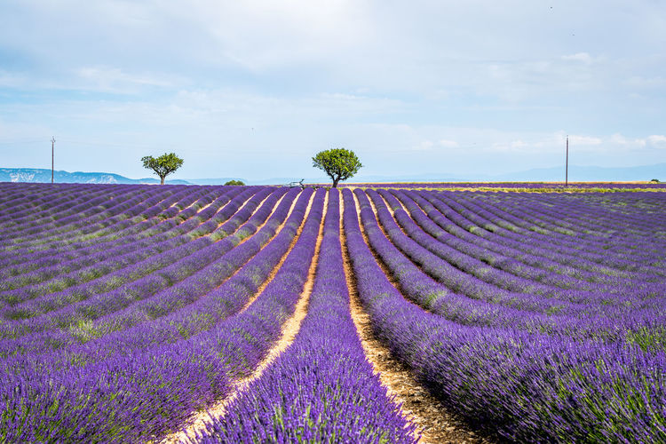 Agriculture Beauty In Nature Cloud - Sky Environment Field Flower Flower Head Flowerbed Flowering Plant Freshness Growth Idyllic Land Landscape Lavender Nature No People Outdoors Plant Purple Scenics - Nature Sky Tranquil Scene Tranquility