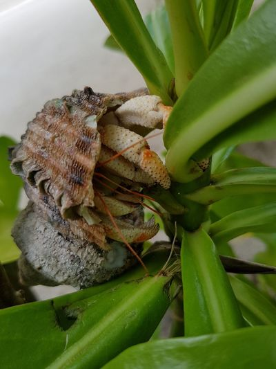 Animal Wildlife Green Color Animals In The Wild Nature Close-up No People Leaf Animal Themes Beauty In Nature Outdoors Hermit Crab Hermit Maafushi Maldives Crab Shell Travel