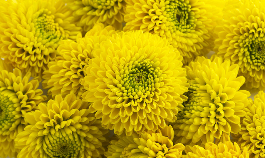 yellow blossoms Flower Head Flower Yellow Backgrounds Full Frame Vibrant Color Macro Close-up Plant Chrysanthemum Blooming Blossom Petal Plant Life