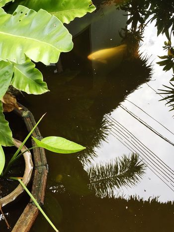 карп отражение Carp Japanese Carp Reflection Afloat Grass Reflections In The Water Fish