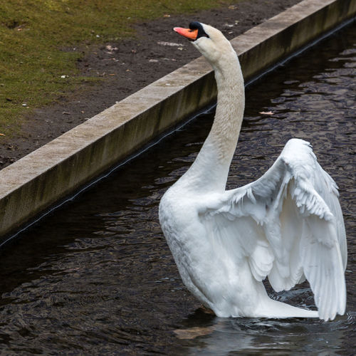 Close-Up Of Mute Swan In Pond